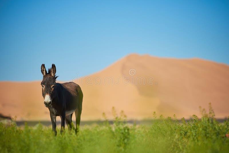 Um asno na frente da duna grande fotos de stock royalty free