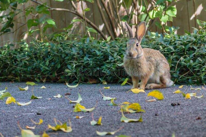 Um assento pequeno do coelho de coelho poised, pronto para ser executado fotografia de stock