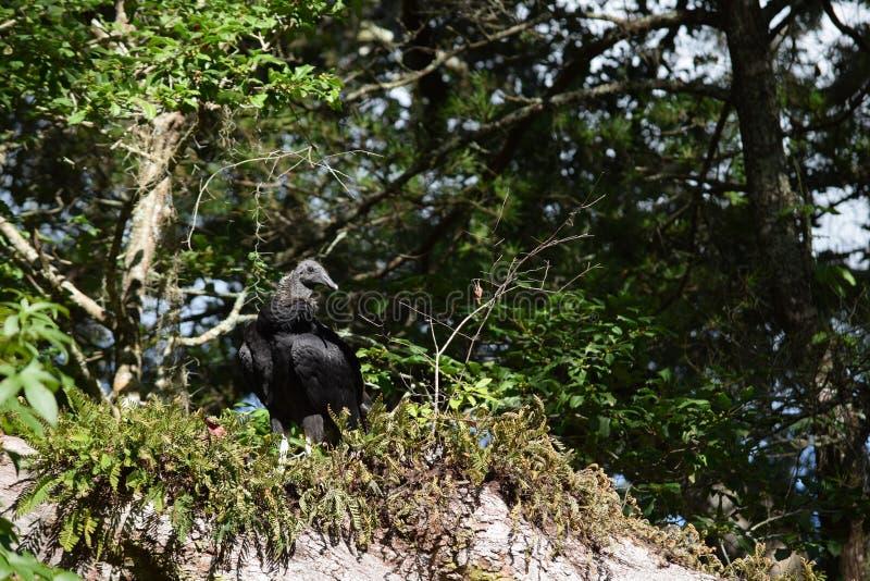 Um atratus juvenil do Coragyps do abutre preto foto de stock royalty free