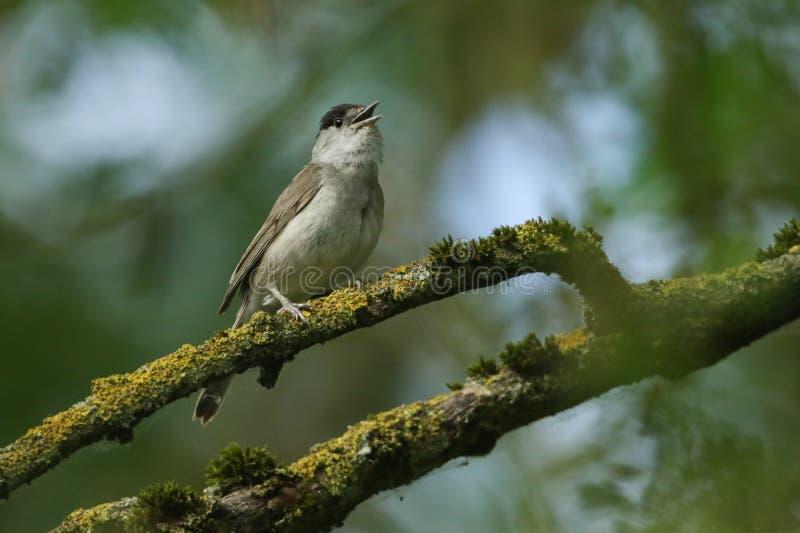 Um atricapilla masculino do Blackcap, da Sylvia do canto impressionante, empoleirado em um ramo em uma árvore coberta no líquene  fotos de stock royalty free