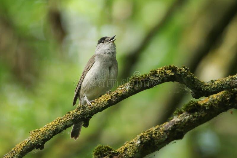 Um atricapilla masculino do Blackcap, da Sylvia do canto impressionante, empoleirado em um ramo em uma árvore coberta no líquene  imagem de stock