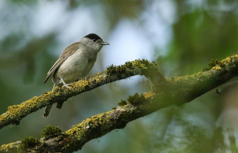 Um atricapilla masculino impressionante do Blackcap, da Sylvia, empoleirado em um ramo em uma árvore coberta no líquene e no musg fotografia de stock