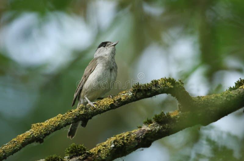 Um atricapilla masculino impressionante do Blackcap, da Sylvia, empoleirado em um ramo em uma árvore coberta no líquene e no musg fotos de stock