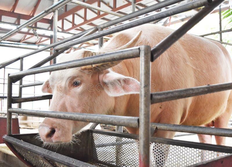 Um búfalo cor-de-rosa em um abrigo fotos de stock