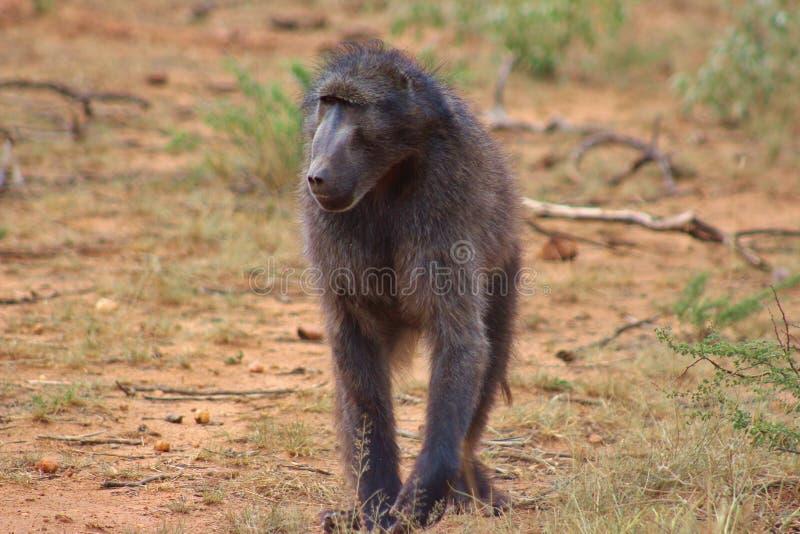 Um babuíno de Chacma capturado em Namíbia fotografia de stock royalty free