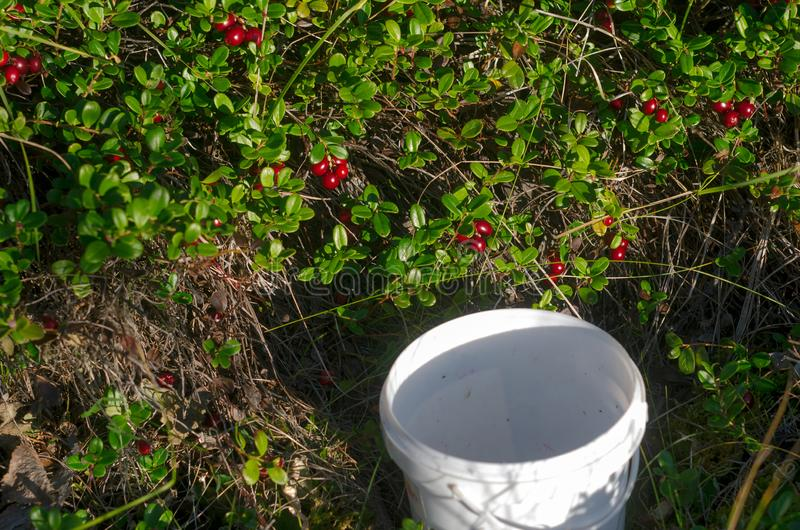 Um balde vazio fica debaixo dos arbustos brilhantes de groselhas vermelhas antes de colher uma colheita selvagem imagem de stock royalty free