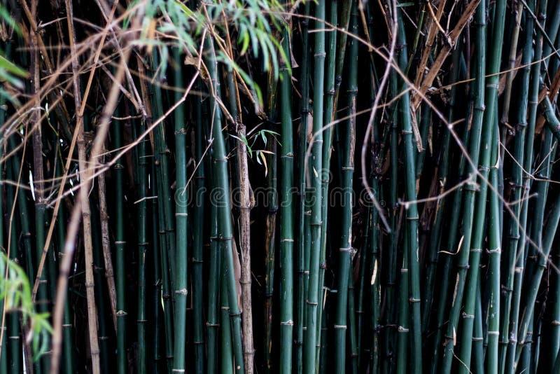 Um bambu no tronco comum do verde do teste padrão do jardim foto de stock royalty free