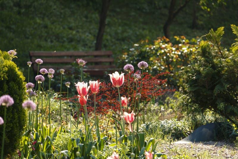 Um banco de madeira com tulipas alaranjadas em um jardim da mola imagem de stock royalty free