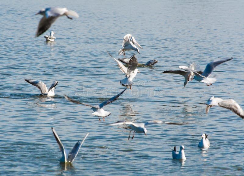 Um bando de gaivotas caçando peixes em uma lagoa foto de stock royalty free