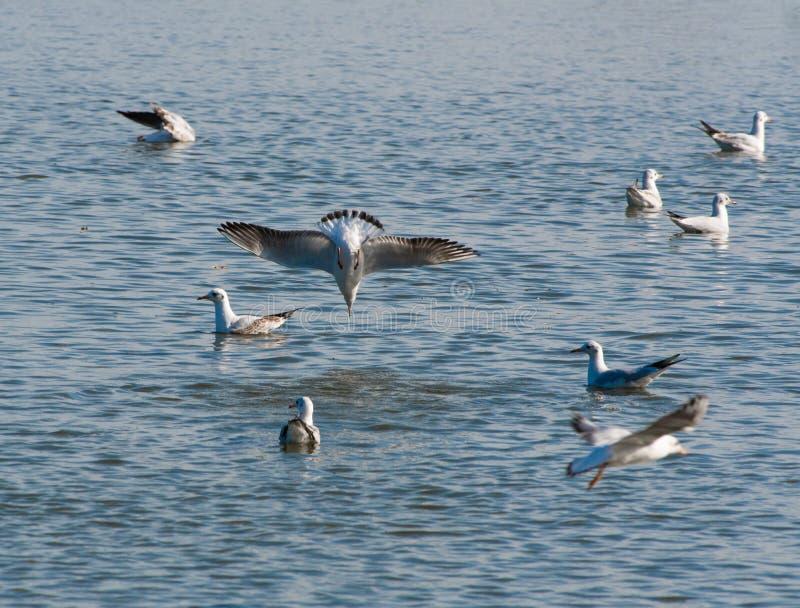 Um bando de gaivotas caçando peixes em uma lagoa imagens de stock royalty free