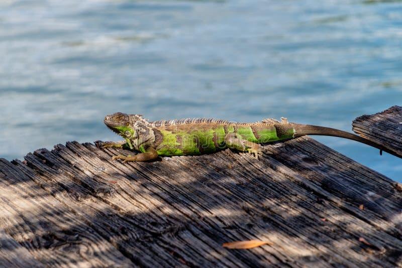 Um banho de sol da iguana em Miami, Florida, EUA imagens de stock royalty free