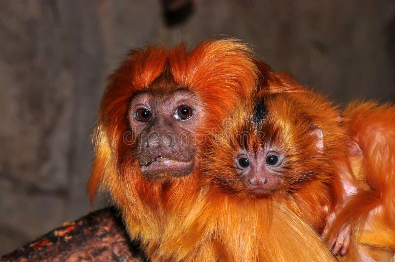 Um bebê dourado de Lion Tamarin em seus pais suporta foto de stock