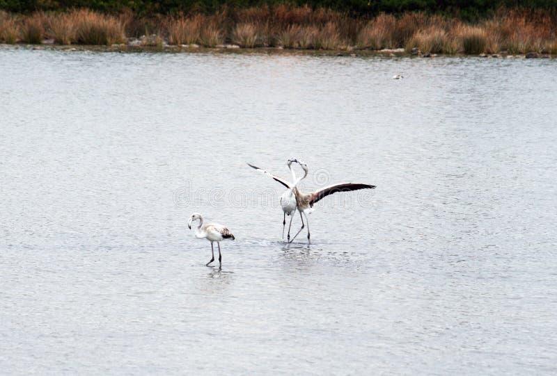 Um beijo do flamingo fotos de stock royalty free