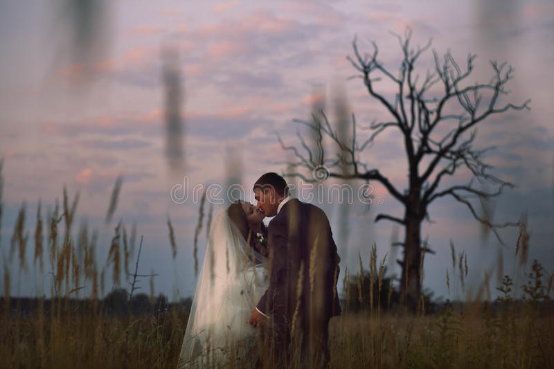 Um beijo macio dos noivos entre as orelhas do trigo fotos de stock royalty free