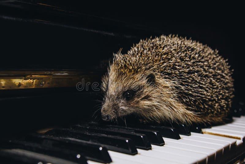 Um belo ouriço cinza se senta nas teclas do piano Piano Escola de música, conceito de educação, início do ano, fotografia de stock
