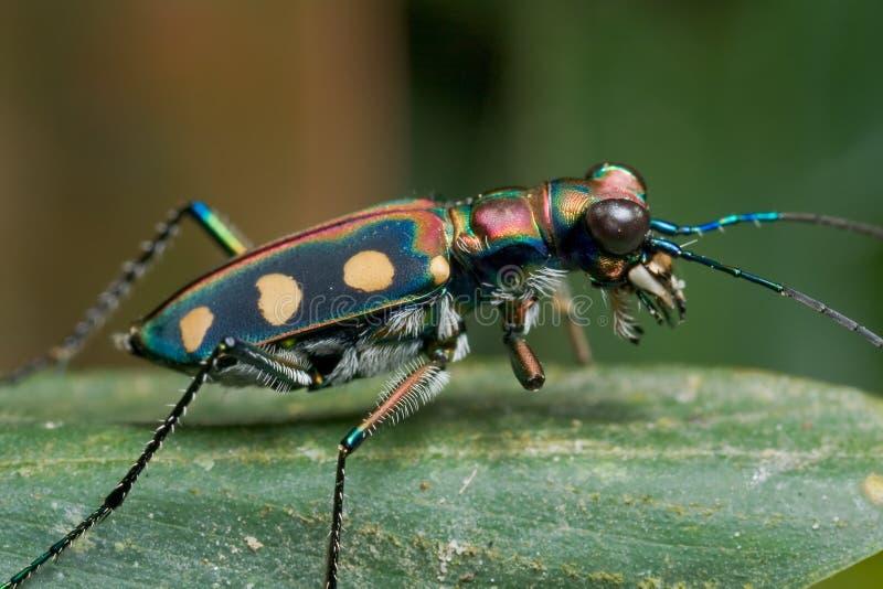 Um besouro de tigre greenish fotografia de stock