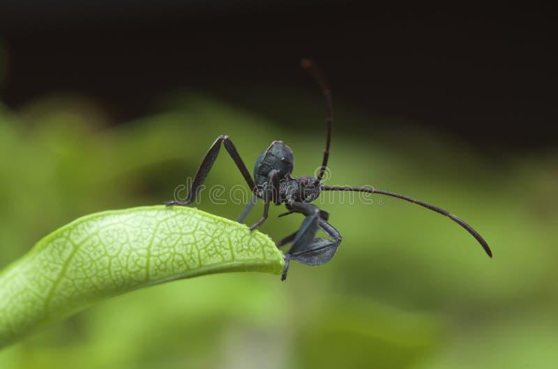 Um besouro equipado com pernas da folha dianteira bonito fotografia de stock