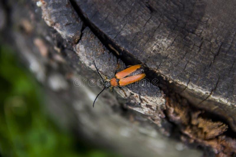 Um besouro pente-agarrado fotografia de stock