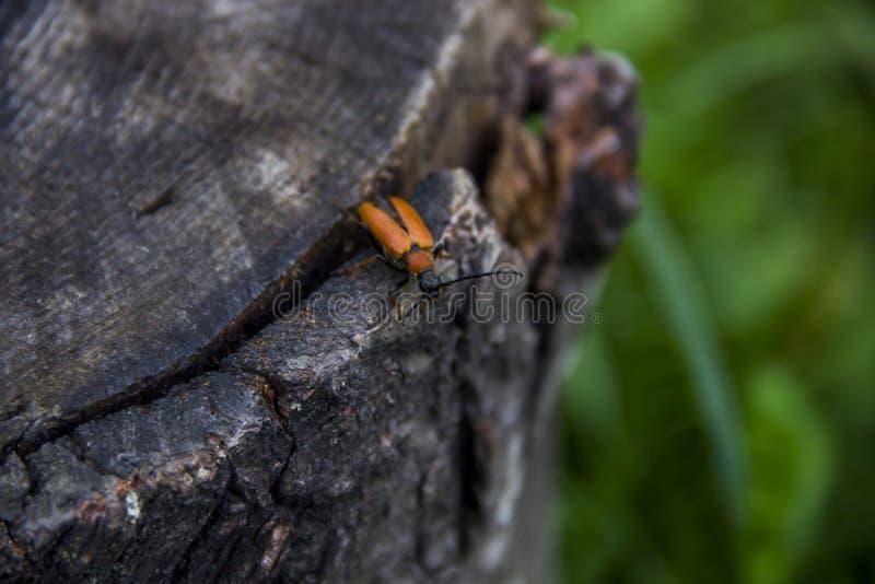 Um besouro pente-agarrado imagem de stock royalty free