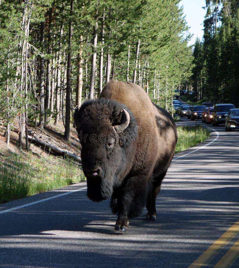 Um bisonte enorme que atrasa o tráfego imagens de stock royalty free