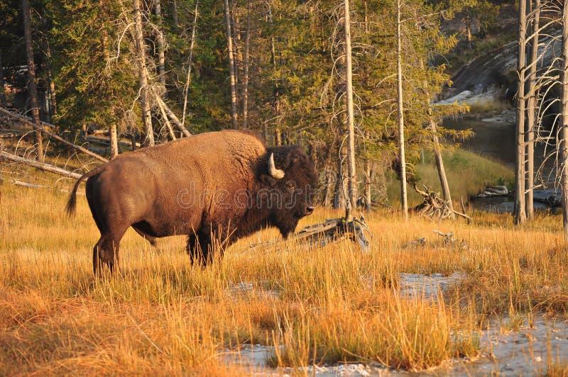 Um bisonte que pasta perto de fiel velho em Yellowstone imagens de stock