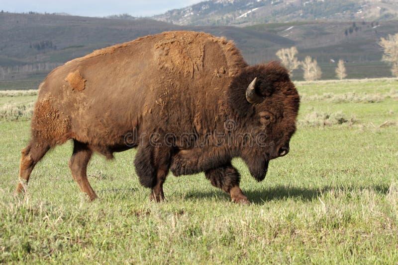 Um bisonte selvagem de América imagens de stock