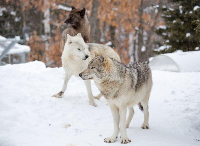Um bloco pequeno de três lobos de madeira orientais foto de stock royalty free