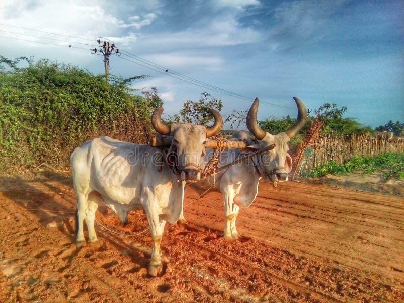 Um boi do boi dois no trabalho da exploração agrícola imagem de stock