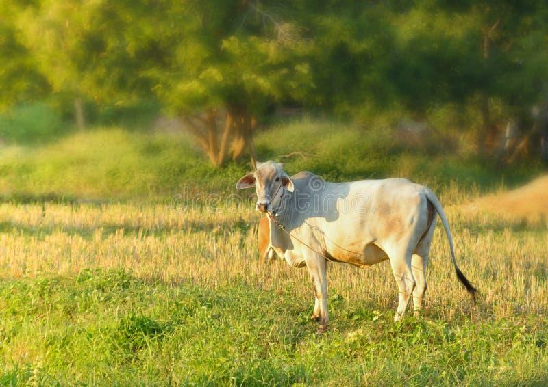 Um boi no campo foto de stock