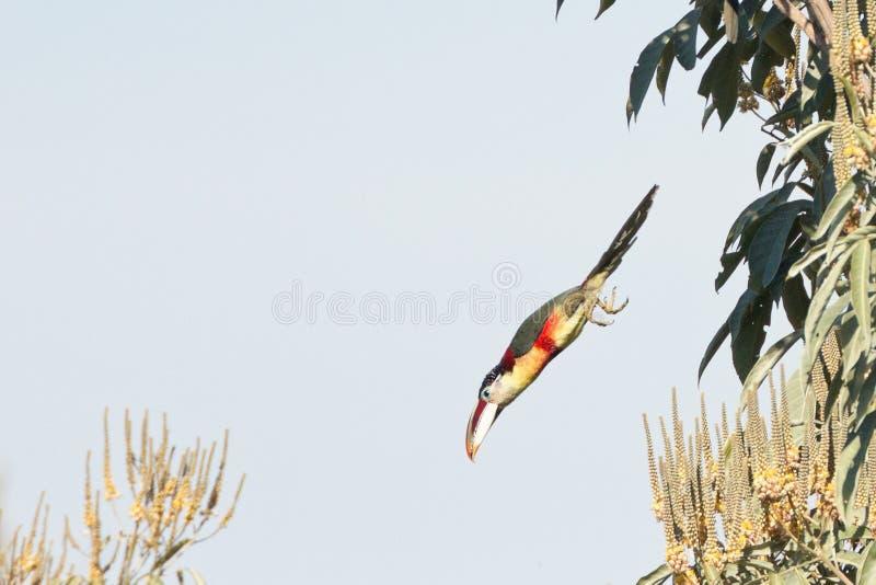Um bombardeio de mergulho com crista de Aracari da onda o dossel da floresta húmida foto de stock royalty free