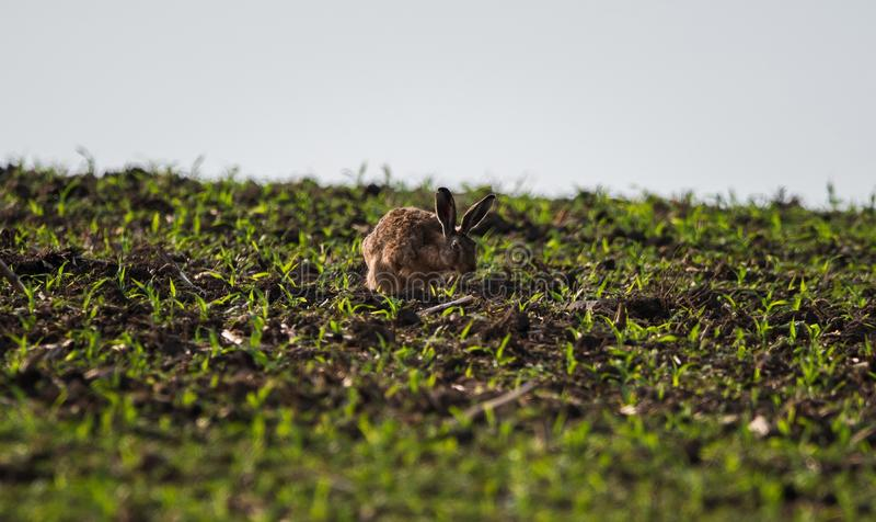 Um bonito pouco coelho em um campo fotos de stock royalty free