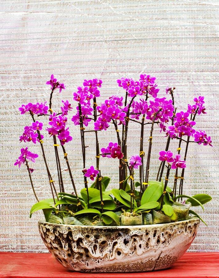 um bonsai de flores da orquídea no potenciômetro fotos de stock
