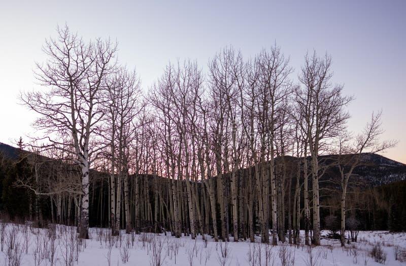 Um bosque de árvores do álamo tremedor na neve do inverno fotos de stock royalty free