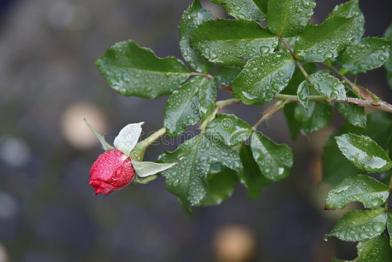 Um botão cor-de-rosa vermelho molhado com folhas, tempo do outono imagens de stock
