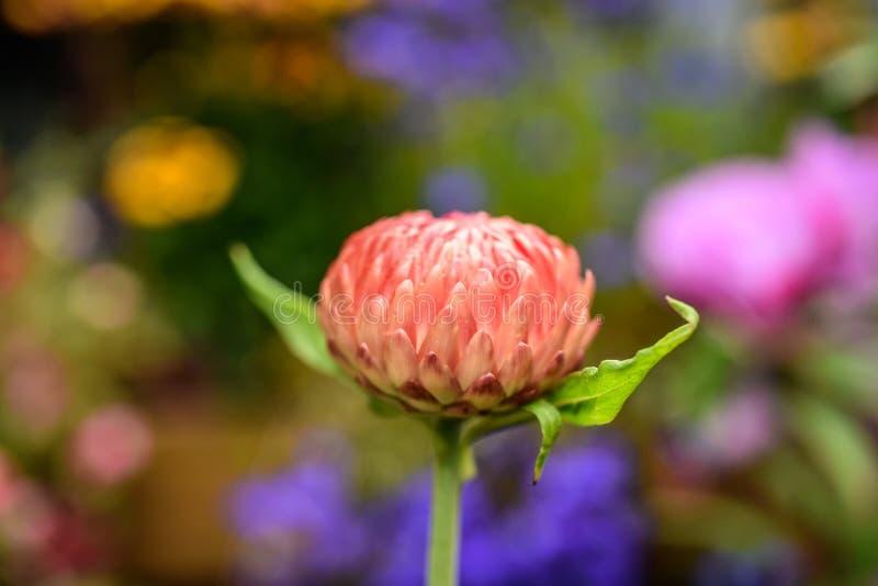 Um botão de uma flor do calendula que floresce em um jardim em Islândia imagem de stock