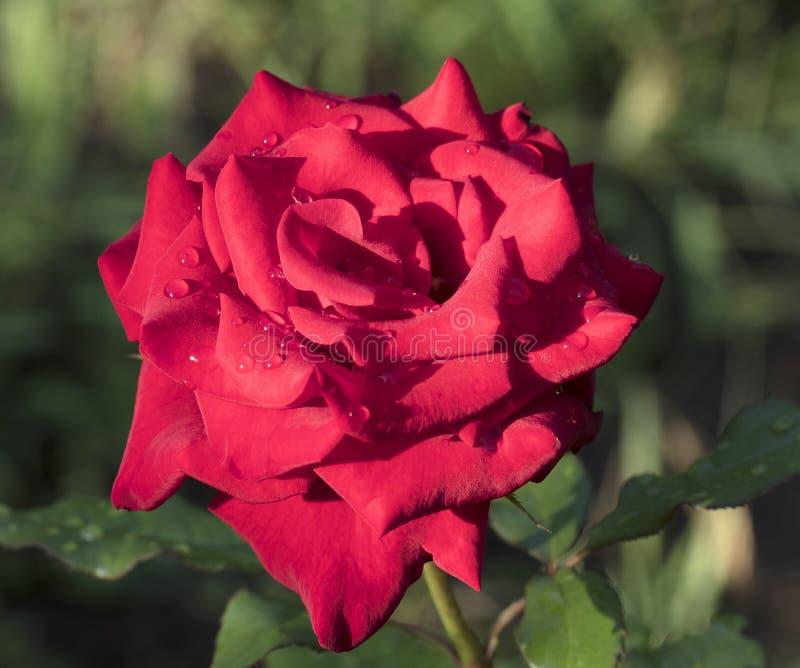 Um botão de uma rosa vermelha após uma chuva em um jardim do verão fotos de stock royalty free