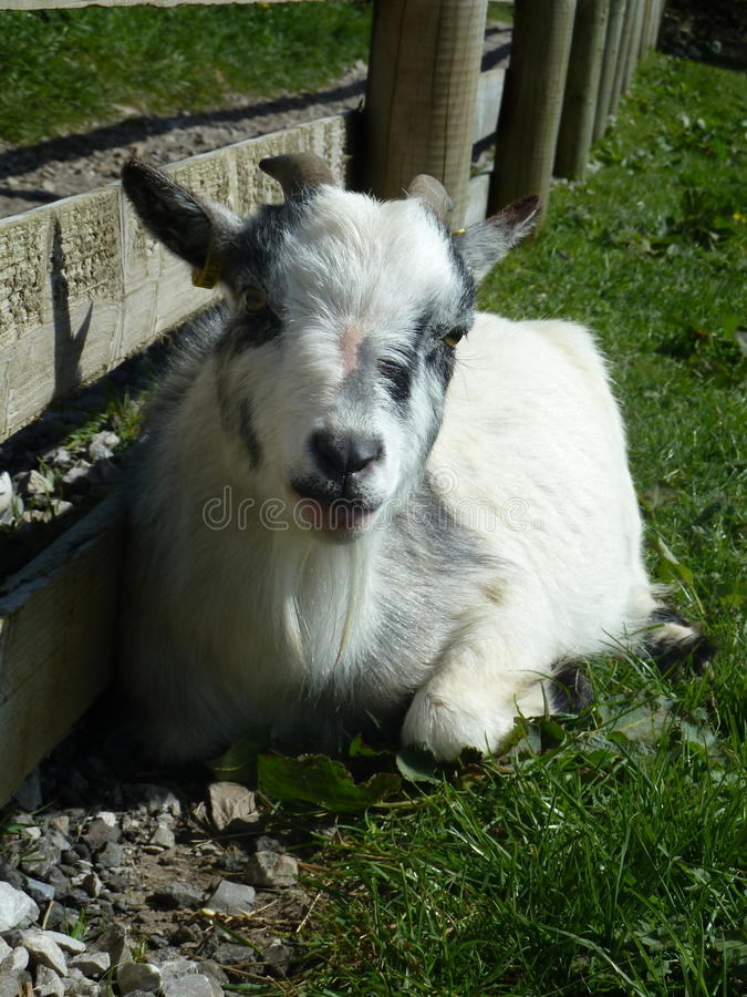 Um branco e Grey Billy Goat bonitos fotografia de stock