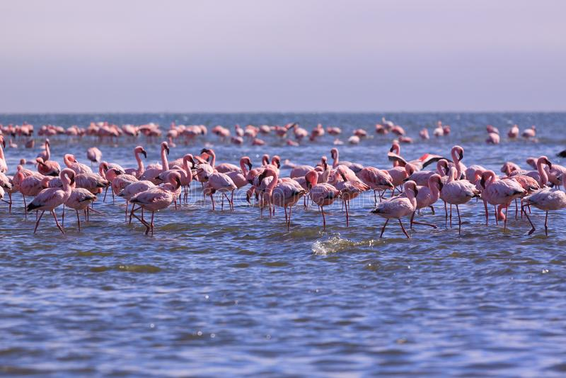 Um brilho dos flamingos em Swakopmund, Namíbia foto de stock royalty free