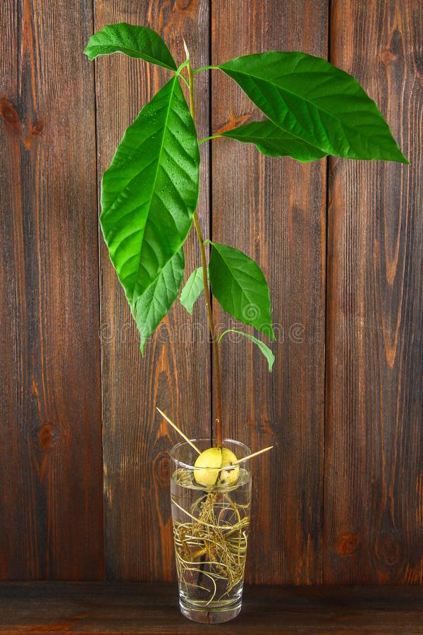 Um broto do abacate com folhas e raizes em um vidro da água Uma árvore de abacate nova Parede e tabela marrons de madeira fotografia de stock royalty free