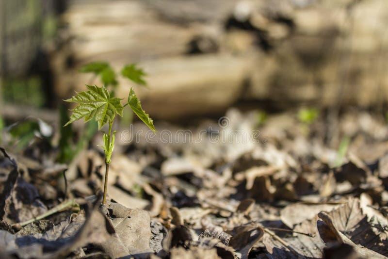 Um broto pequeno de uma árvore de bordo na árvore seca do ` s do ano passado da floresta sae foto de stock