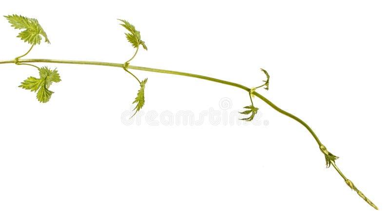 Um broto verde dos l?pulos Isolado no branco fotos de stock