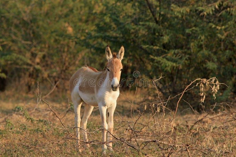 Um burro selvagem no Rann pequeno de Kutch imagens de stock royalty free