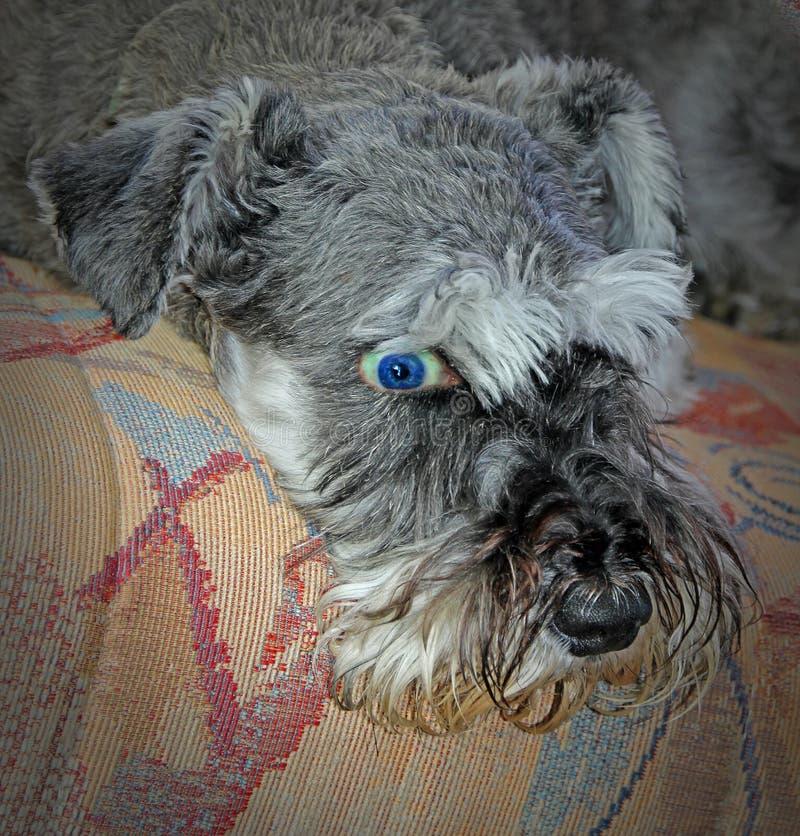Um cão às gotas do olho aberto foto de stock royalty free