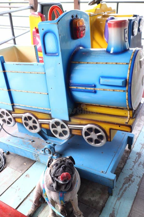 Um cão bonito do pug está sentando-se em um assoalho de madeira e em um trem bonito do brinquedo foto de stock royalty free