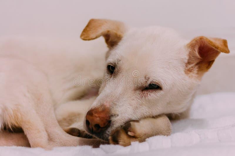 Um cão branco da rua apenas salvar da rua foto de stock
