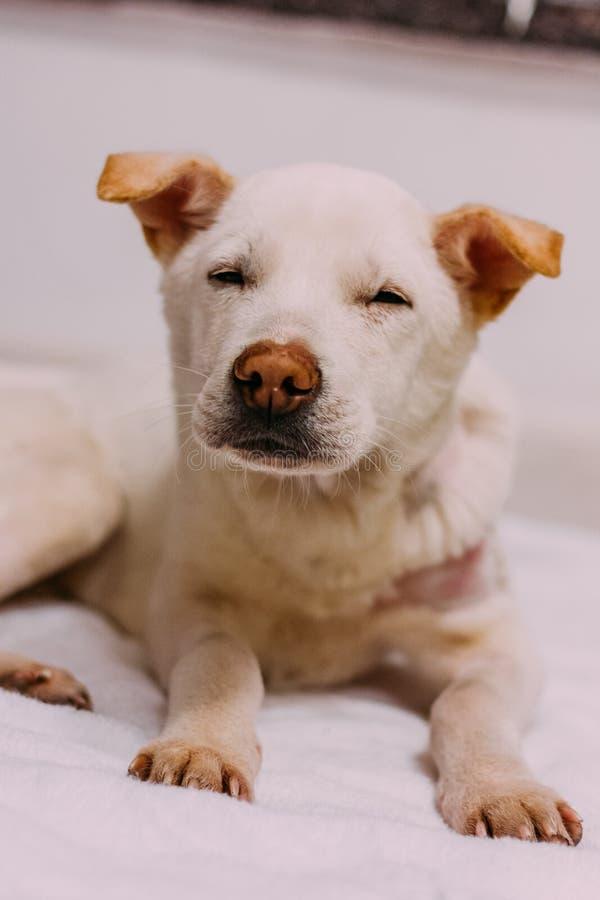 Um cão branco da rua apenas salvar da rua fotos de stock