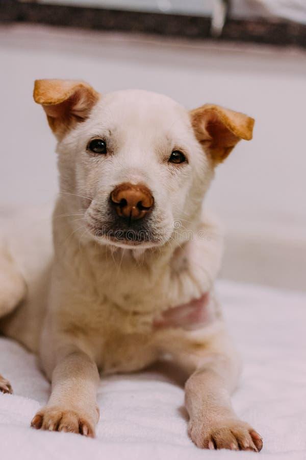 Um cão branco da rua apenas salvar da rua e sente fraco e sonolento imagem de stock royalty free