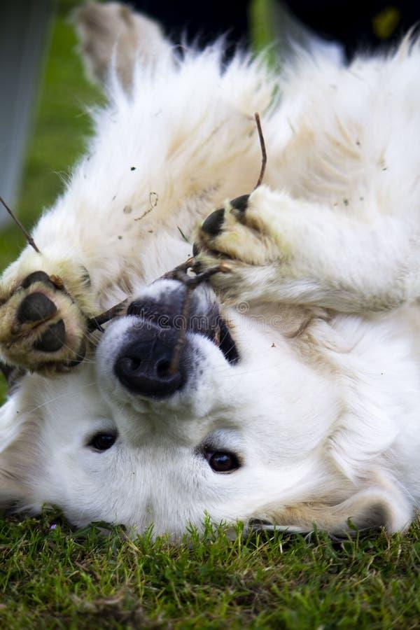 Um cão branco parece apreciar imagens de stock royalty free