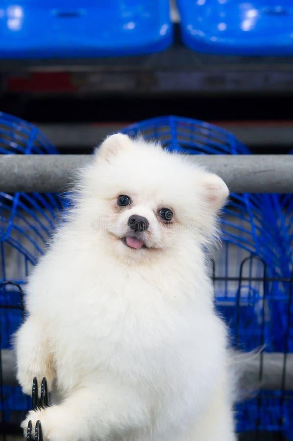 Um cão branco pequeno bonito na gaiola aberta fotos de stock