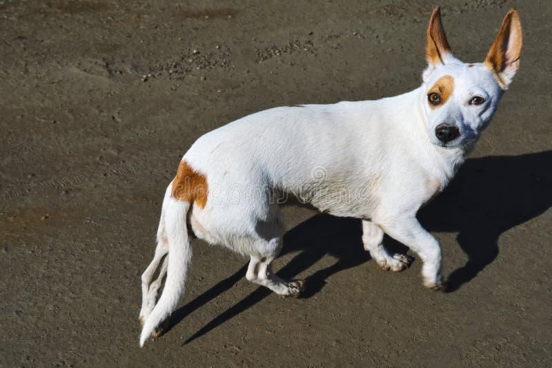 Um cão branco pequeno com grandes caminhadas eretas das orelhas na costa fotografia de stock